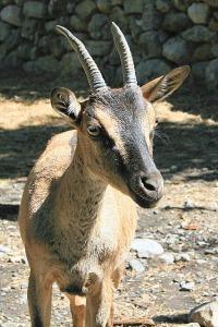 A Cretan kri-kri.
