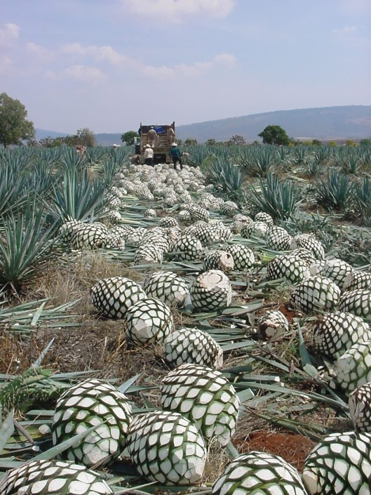 Blue agave piñas ready for the distillery