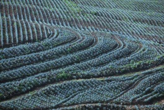 A blue agave field in the Sierra Madre of Mexico