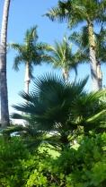A la palma tree (foreground)
