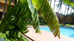 bananas at pool