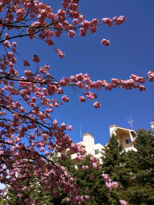 Our condo peeks through a flowering cherry foreground
